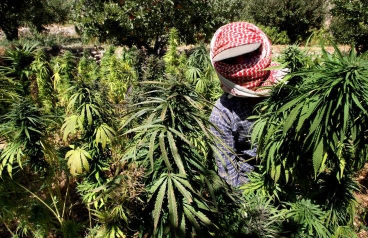 Lebanese Marijuana Farmers Record Bumper Crop, As Syrian Civil War Occupies Authorities