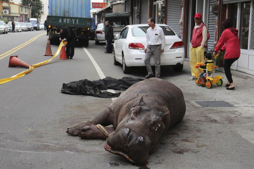 Hippopotamus, Which Was Injured Twice In Three Days, Dies In Taiwan