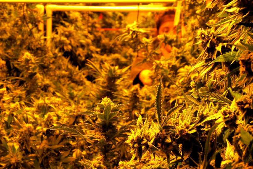 marijuana grower close touch